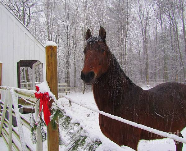 Morgan Horse Poster featuring the photograph Morgan Horse Christmas by Elizabeth Dow