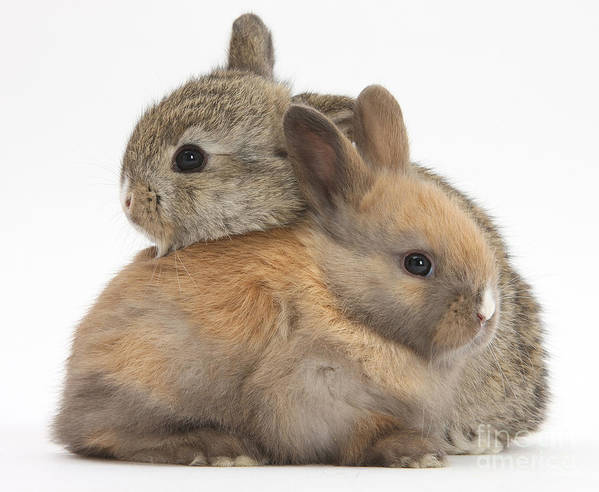 Animal Poster featuring the photograph Baby Rabbits by Mark Taylor