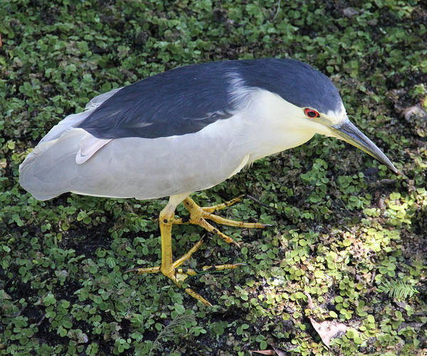 Black Crowned Night Heron Poster featuring the photograph Black Crowned Night Heron by Carol McCutcheon