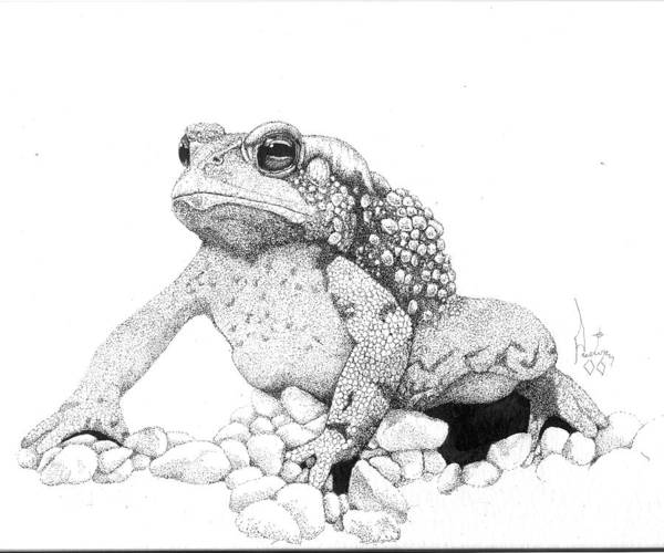 Toad Art Toads Reptile Artist Toad Stool Toader American Spadefoot Poster featuring the drawing Bufo Americanus by Preston Shupp