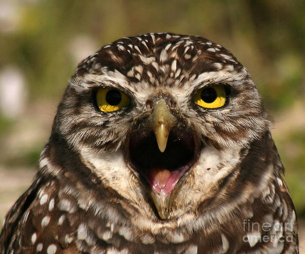 Owl Poster featuring the photograph Burrowing Owl Eye To Eye by Max Allen