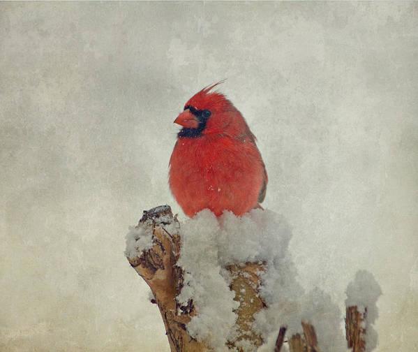 Cardinal Poster featuring the photograph Northern Cardinal by Sandy Keeton
