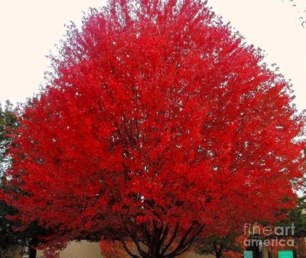 Red Maple Poster featuring the photograph Oregon Red Maple Beauty by Kim Petitt