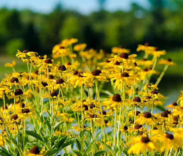 Flowers Poster featuring the photograph Sunflower Patch by John Ullrick