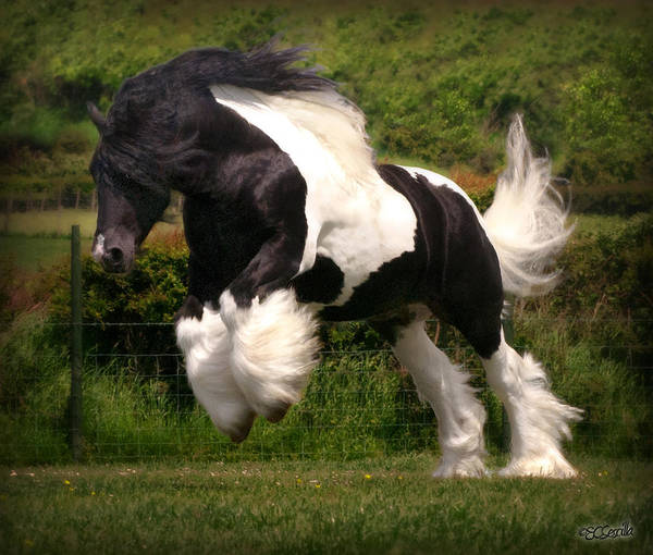 Gypsy Vanner Poster featuring the photograph The Diplomat by Elizabeth Sescilla