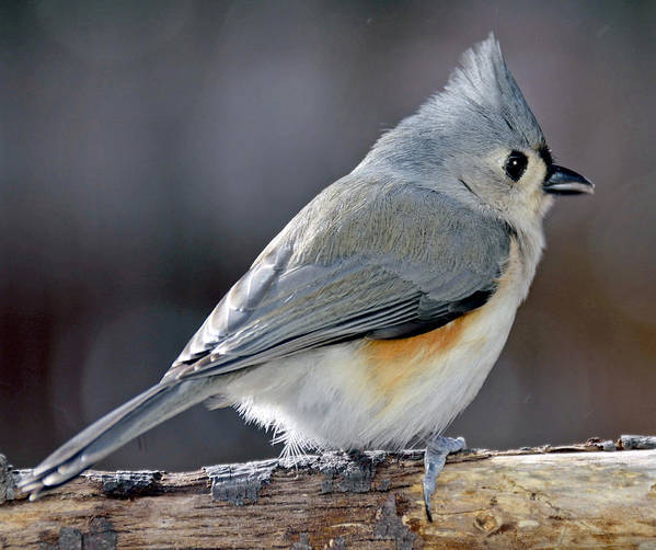 Environment Poster featuring the photograph Tufted Titmouse Animal Portrait by A Gurmankin