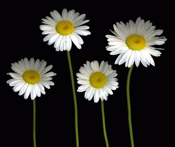 Scanography Poster featuring the photograph Alaskan Shasta Daisies by Deborah J Humphries