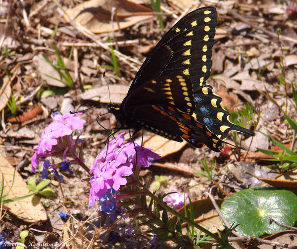 Butterfly Poster featuring the photograph Black Swallowtail Butterfly by Nicole I Hamilton