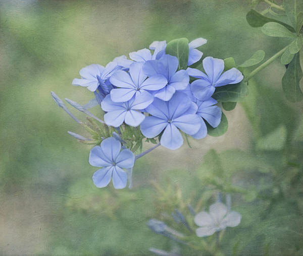 Flower Poster featuring the photograph Blooming Blues by Kim Hojnacki