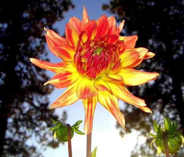 Dahlia Poster featuring the photograph Bold And Beautiful by Will Borden