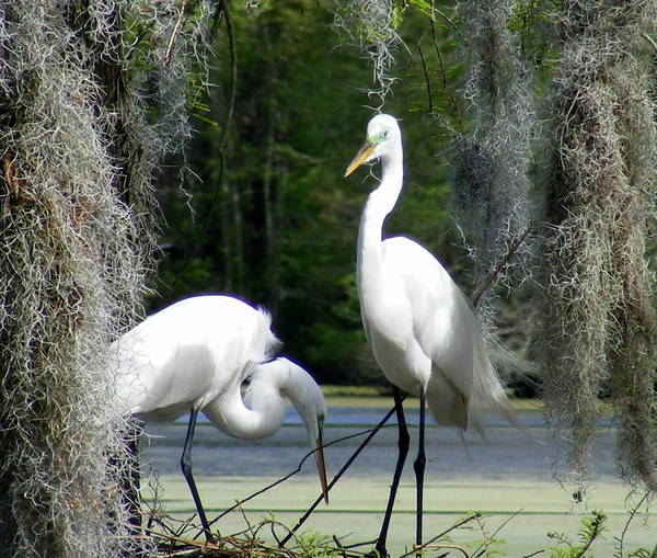 White Egrets Poster featuring the photograph Delicate Egret Romance by Elena Tudor