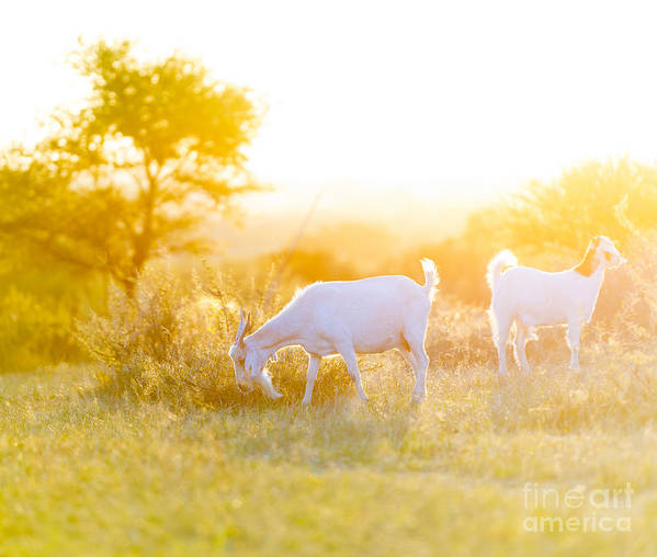 Grazing Poster featuring the photograph Goats Grazing In Field by Tim Hester