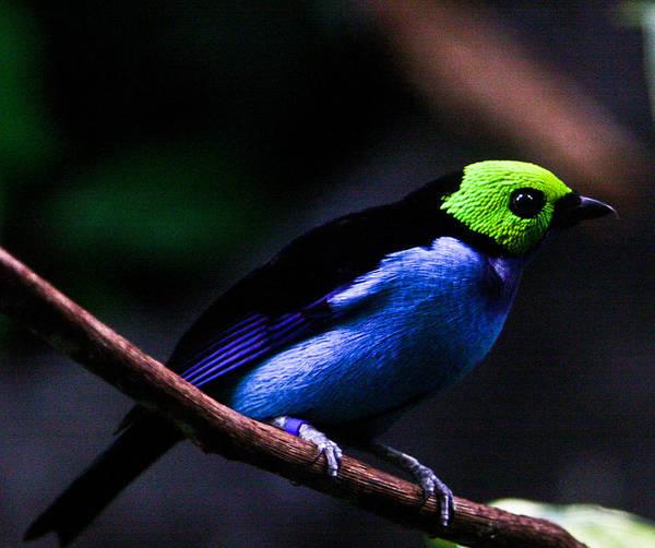 Green Poster featuring the photograph Green Headed Bird by Douglas Barnett