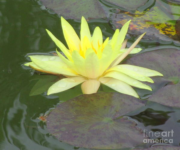 Water Lilly Poster featuring the photograph Hilo Water Lily 4 by Randall Weidner