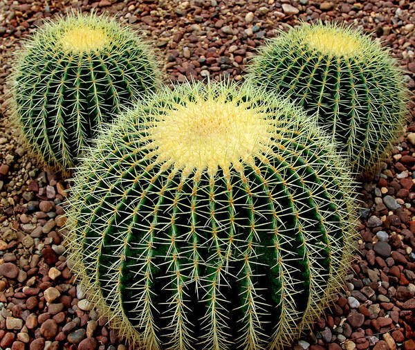 Cacti Poster featuring the photograph Mickey Mouse Barrel Cactus by Donna Haggerty
