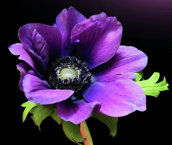 Horizontal Poster featuring the photograph Purple Anemone Flower by Gitpix