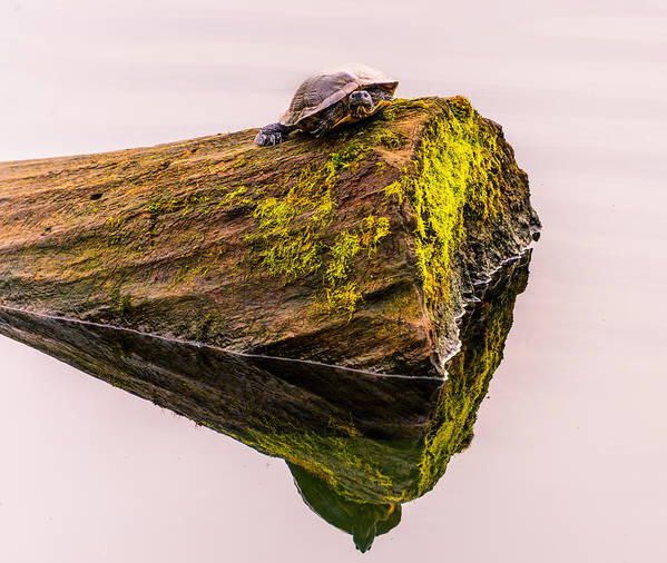 Turtles All The Way Down Poster featuring the photograph Turtle Basking by Jerry Cahill