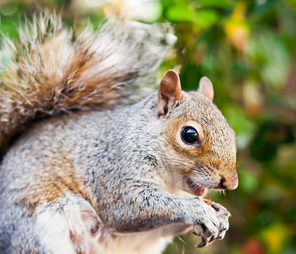 Squirrel Poster featuring the photograph Grey Squirrel by Gyorgy Kotorman