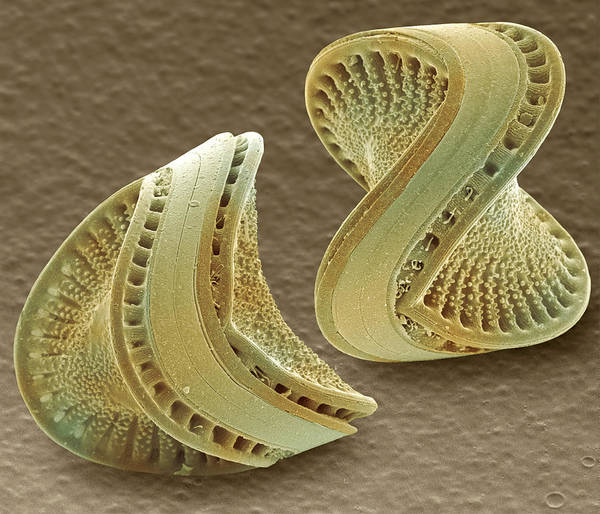 Diatom Poster featuring the photograph Diatoms, Sem by Power And Syred