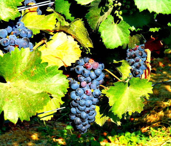 Grapes Poster featuring the photograph A Bunch Of Grapes by Kay Gilley