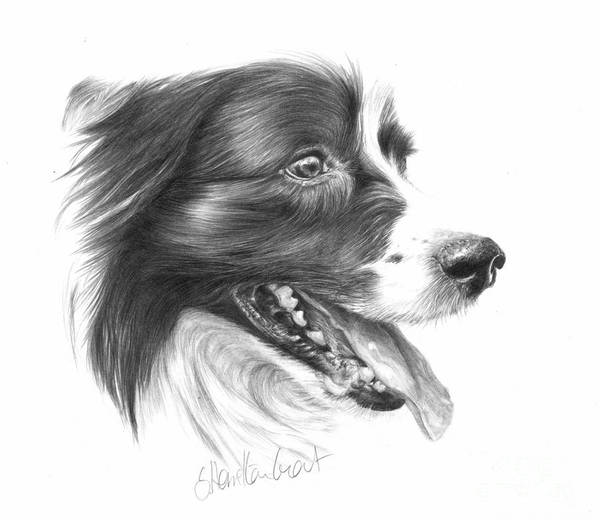 Dog Poster featuring the drawing Border Grin by Sheona Hamilton-Grant