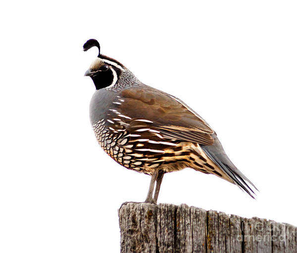 Birds Poster featuring the photograph California Quail by Robert Bales