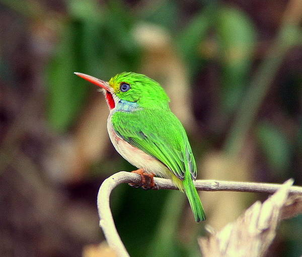Bird Poster featuring the photograph Cuban Tody by Don Downer