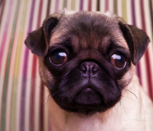 Pug Puppy Cute Dog Breed Portrait Pet Animal Toy Lap Poster featuring the photograph Cute Pug Puppy by Edward Fielding