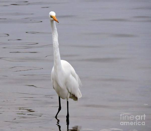 Egret Poster featuring the photograph Here's Looking At You by Beth Williams
