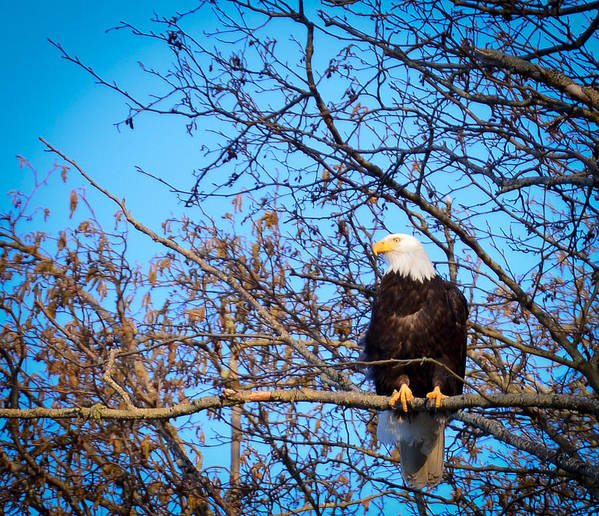 Bald Eagle Poster featuring the photograph Keeping An Eye On The Setting Sun by Ronda Broatch