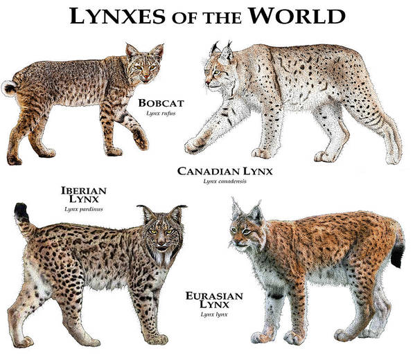 Anadian Poster featuring the photograph Lynx Of The World by Roger Hall