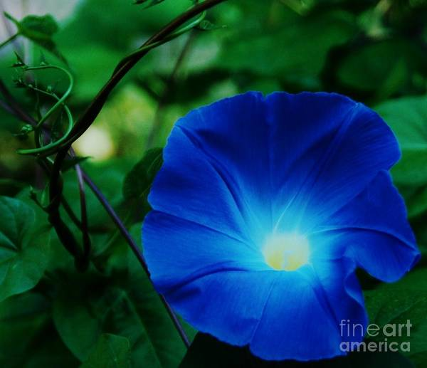 Morning Glory Art Floral Nature Macro Stock Shot Vibrant Flower Sunlit Heart Bermuda Tropical Flora Georgia Okeefe Homage Lovely Weed Canvas Print Metal Frame Poster Print Available On Greeting Cards Phone Cases Shower Curtains T Shirts Duvet Covers Pouches Throw Pillows Mugs Tote Bags And Phone Cases Poster featuring the photograph Morning Glory # 2 by Marcus Dagan