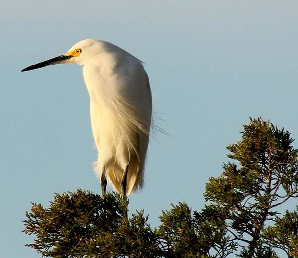 Egret Poster featuring the photograph Snowy Egret by Rosanne Jordan