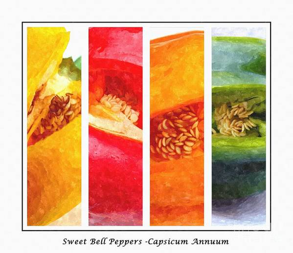 Sweet Pepper Watercolorsweet Peppers Poster featuring the digital art Sweet Pepper Watercolor by Barbara Griffin
