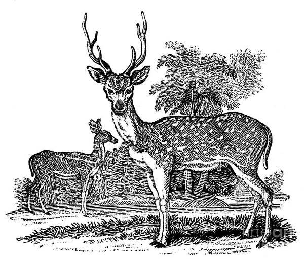 1824 Poster featuring the photograph Deer by Granger