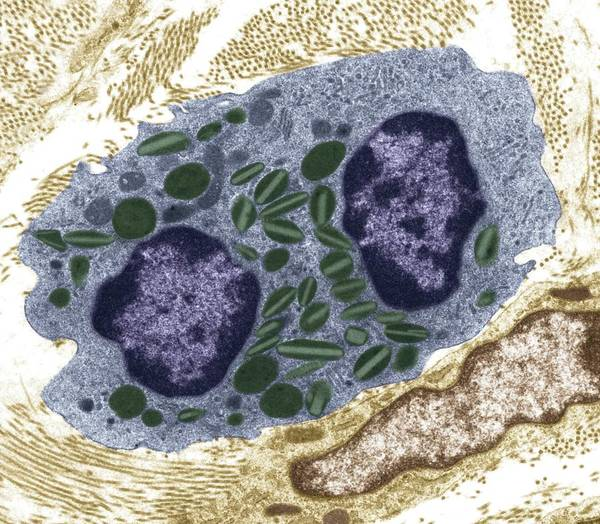 Eosinophil Poster featuring the photograph White Blood Cell, Tem by Steve Gschmeissner