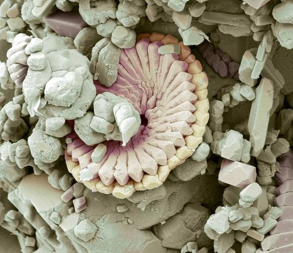 Alga Poster featuring the photograph Fossil Debris In Chalk, Sem by Steve Gschmeissner