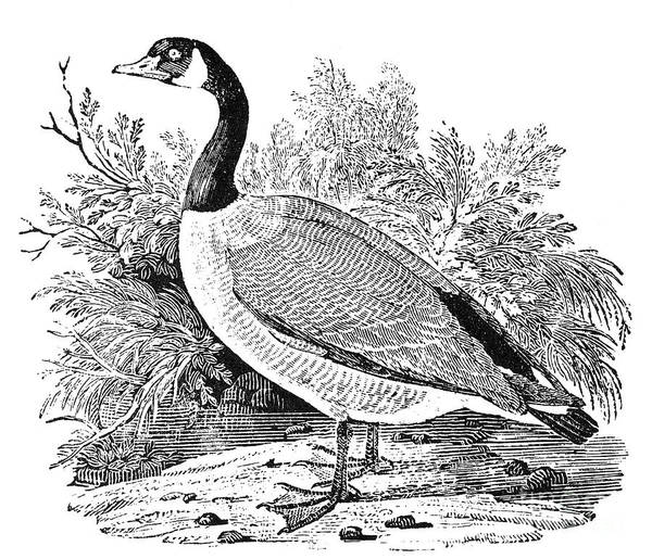 19th Century Poster featuring the photograph Cravat Goose by Granger