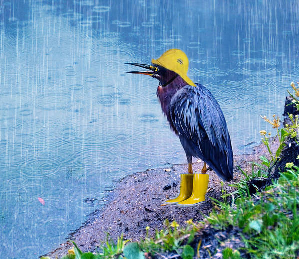 Green Heron Poster featuring the photograph Damn Rain by Tracey Tilson