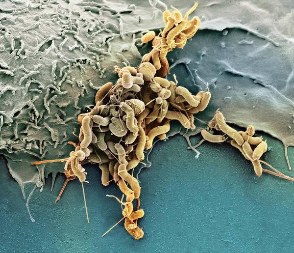 Campylobacter Pyloridis Poster featuring the photograph Helicobacter Pylori Bacteria, Sem by