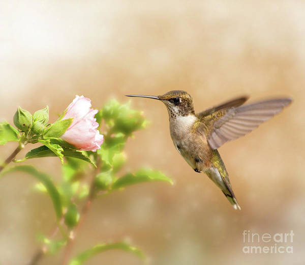 Iridescent Poster featuring the photograph Hummingbird Hovering by Sari ONeal