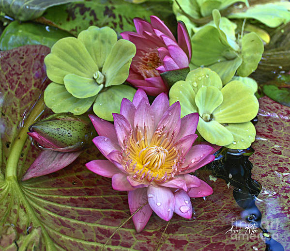 Pink Water Lily Poster featuring the photograph Lilies No. 21 by Anne Klar