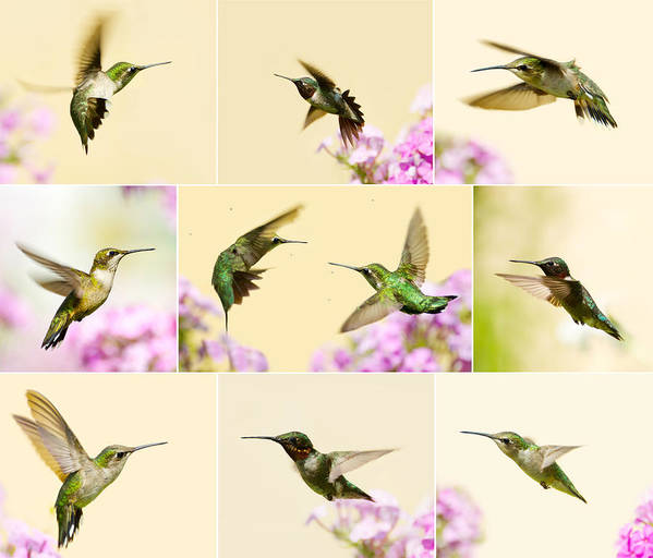 Hummingbirds Poster featuring the photograph Little Wonders. by Kelly Nelson