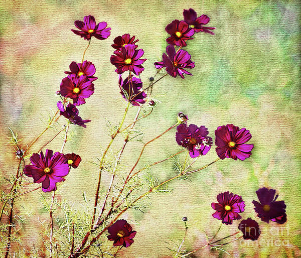 Flowers Poster featuring the photograph Summer Cosmos by Susan Isakson
