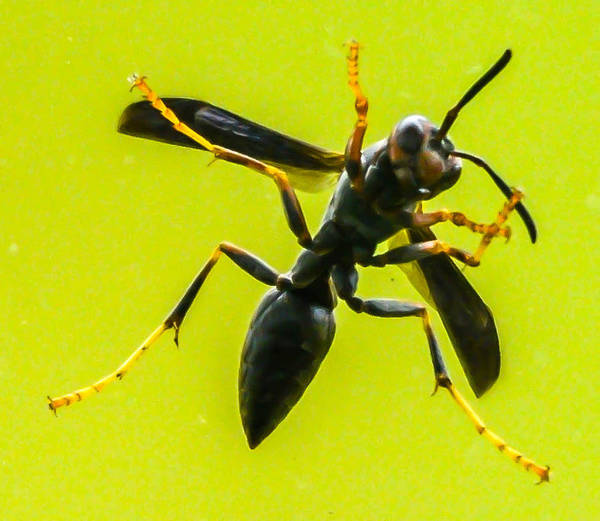 Poster featuring the photograph Window Wasp by Brian Stevens