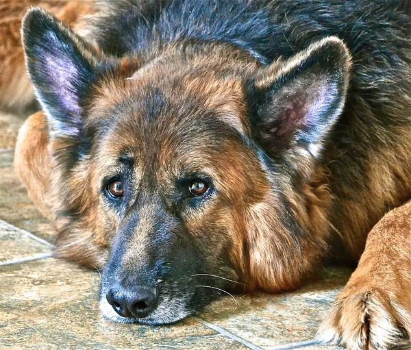 German Shepherd Dog Poster featuring the photograph Sweet Falco by Danielle Sigmon