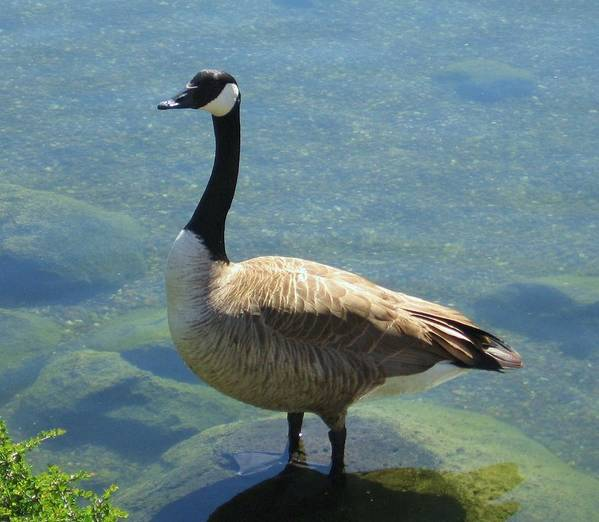 Canadian Goose Poster featuring the photograph Canadian Goose by Kathy Roncarati