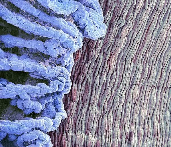Anatomical Poster featuring the photograph Eye Anatomy, Sem by Steve Gschmeissner