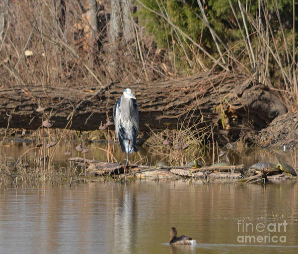 Great Heron And Turtles And Grebe Duck Prints Poster featuring the photograph Great Heron Turtles And Grebe Duck by Ruth Housley