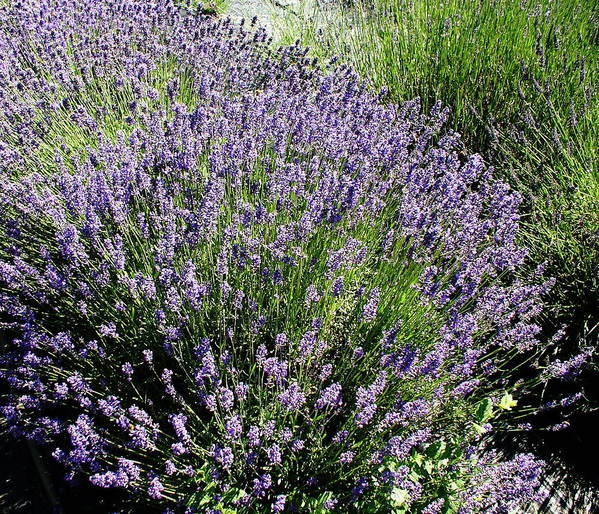 Flowers Poster featuring the photograph Lavender by Valerie Josi